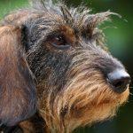 Corso di abilitazione a conduttore di cane limiere