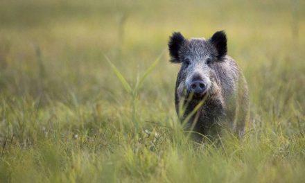 Corsi Di Abilitazione Per Il Controllo Della Specie Cinghiale/Volpi E Corvidi