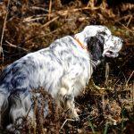 Corso di abilitazione al monitoraggio della beccaccia con cane da ferma
