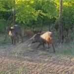 Danni da fauna selvatica alle colture agricole